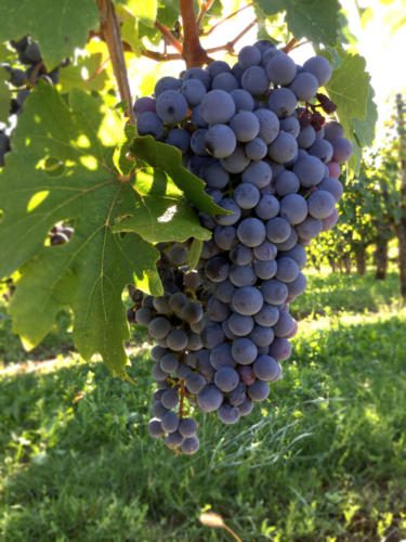 Vigne 2019 Cividale del Friuli (UD) DOMENIS1898 1 (1)