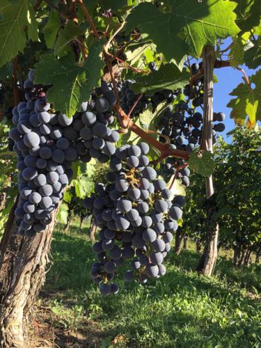 Vigne 2019 Cividale del Friuli (UD) DOMENIS1898 2